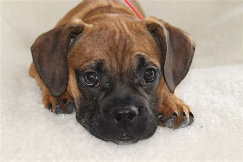 pug and boxer mix pin pug boxer mixed coat named honey hat in alpharetta ga on