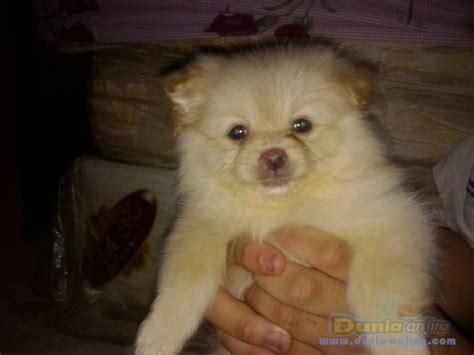 dunia anjing jual anjing pomeranian jual anak anjing