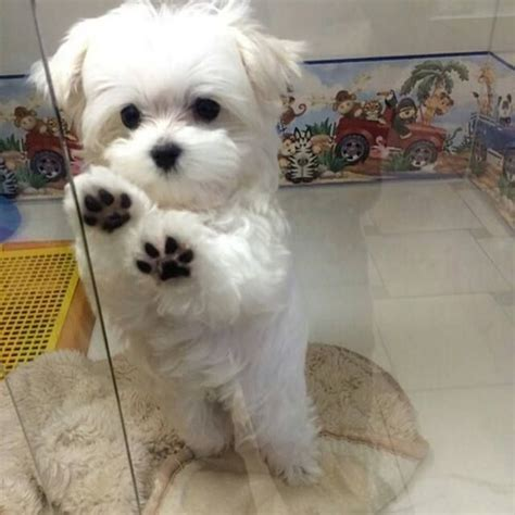 adorable small puppies best 25 maltese puppies ideas on