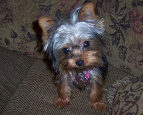 arizona yorkie rescue yorkie poos hairstyle galleries for 2016 2017