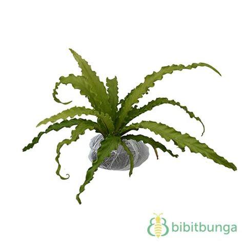 Tanaman Hias Pakis Sarang tanaman kadaka osaka jual tanaman hias