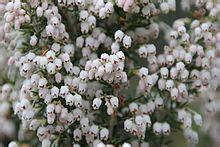 fiori di erica erica