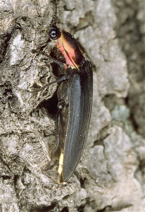 boreal firefly