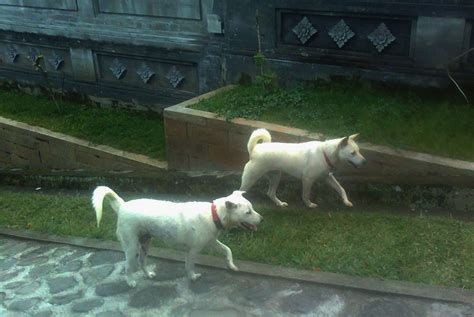 Anjing Kintamani Bali jalan jalan bali tiga hewan endemik bali kisahku