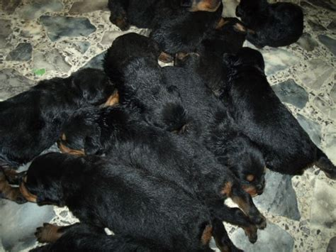 dew claws rottweiler k 9 security dogs rottweiler puppies for sale
