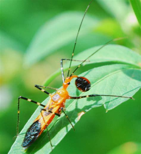 what eats bed bugs milkweed assassin bug eats ladybug what s that bug