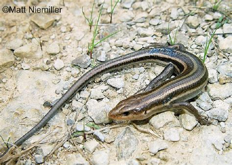 tennessee watchable wildlife southeastern  lined skink