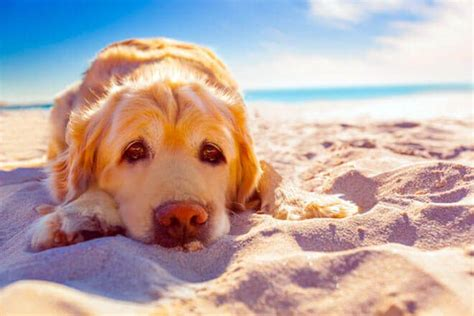 symptoms of heat stroke in dogs heat stroke in dogs symptoms and how to prevent hyperthermia