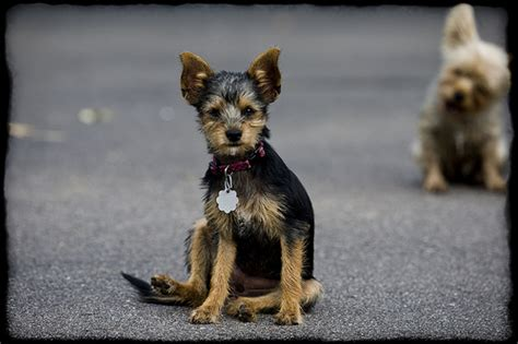 how big will my mutt puppy get how big do chorkie dogs get breeds picture
