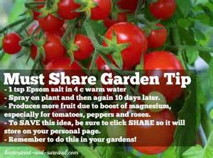 Patio Tomato Plant Care by 25 Best Ideas About Epsom Salt For Tomatoes On
