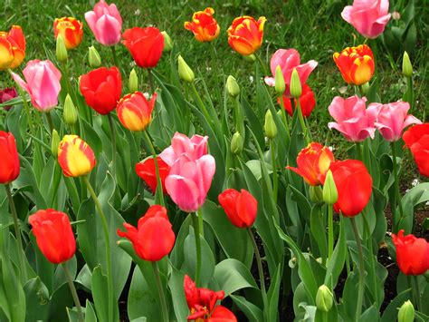 what is spring file spring border from tulips 03 jpg wikimedia commons