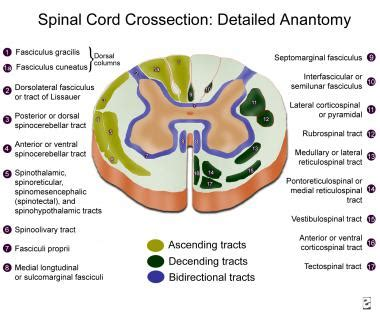 spinal column cross section topographic and functional anatomy of the spinal cord