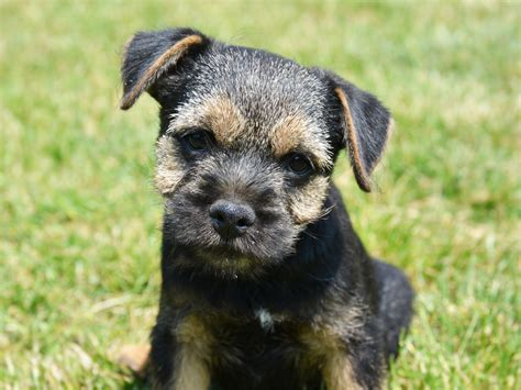 ken puppies for sale ken border terrier puppy for sale puppy