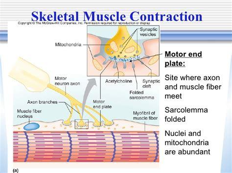 define motor end plate what is the motor end plate of skeletal