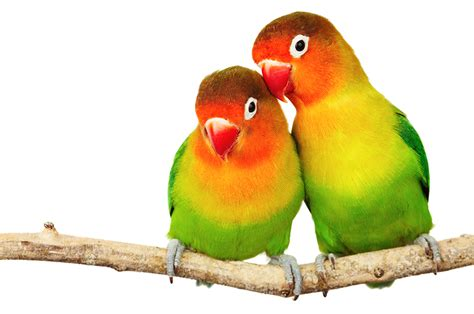 are lovebirds real wonderopolis