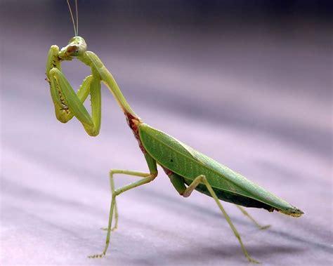 Praying Mantis L praying mantis wallpapers pets and docile