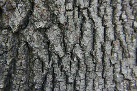 file acer rubrum bark jpg wikipedia