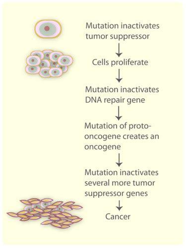 section 12 5 gene regulation answers eukaryotic gene regulation ck 12 foundation