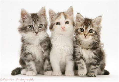 Three Maine Coon kittens photo WP34212