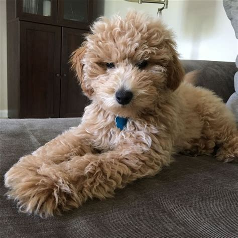 mini labradoodles michigan 17 best images about goldendoodles on