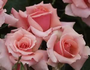 Garden Zones Canada - tournament of roses rose grandiflora rose pink rose