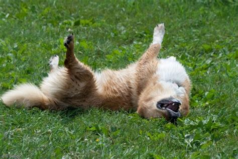 why do dogs roll in stinky stuff why do dogs roll in garbage manure or other smelly stuff