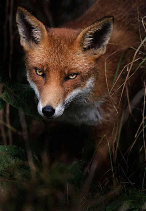 piercing gaze  wild animals photographed  sue demetriou feature shoot