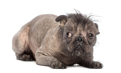crested pug so it s dogs pet care facts