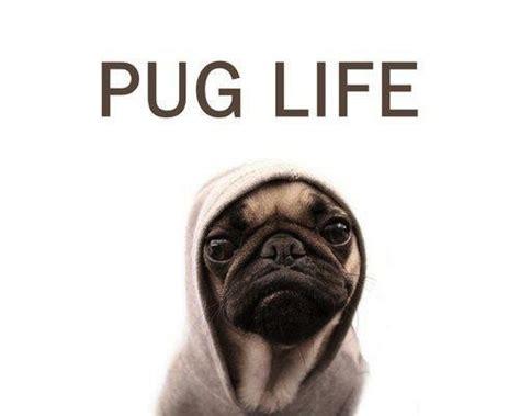 Pug Life Meme - 25 hilarious pug memes babble