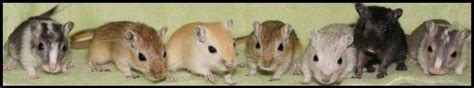 gerbil colors how to make it with less bedding the gerbil forum