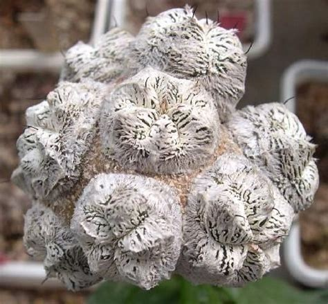 Tanaman Calanthoides Cactus Limited 134 best images about succulents on plants agaves and starfish
