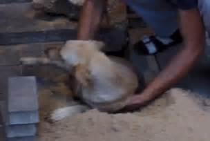 puppy swollen belly of a trapped underground by russian workers being rescued daily mail