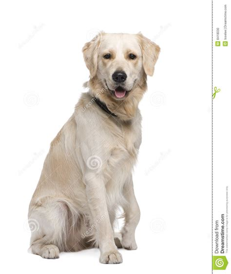 1 year golden retriever golden retriever 1 year stock photo image 8418030