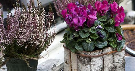 ciclamino coltivazione in vaso ciclamini guida alla coltivazione greenstyle