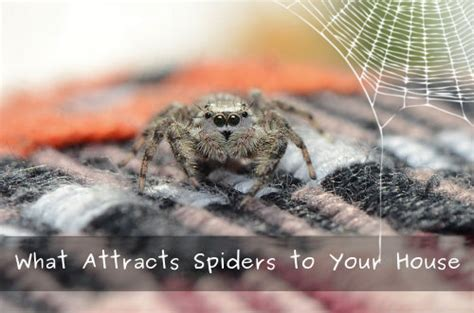 Are Spiders Attracted To Light by What Attracts Spiders To Your House Panther Pest