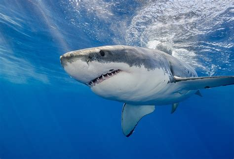 images of sharks why are shark attacks on the rise