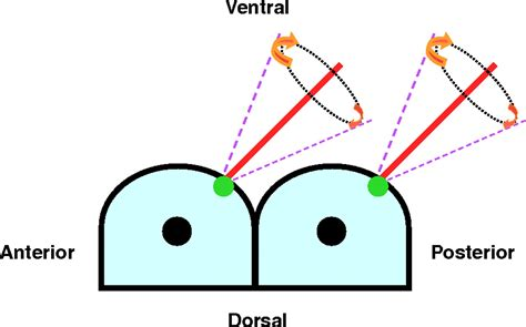 pattern formation asymmetry the left right axis in the mouse from origin to
