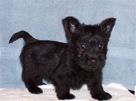 i want to buy a puppy buy me a scottish terrier mibba mibba