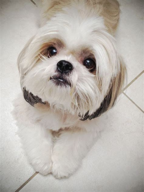 maltese shih tzu haircuts 17 best images about malshi haircuts on pinterest the