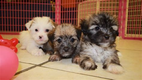 yorkie coton puppies for sale charming white and yorkie ton puppies for sale in atlanta ga at