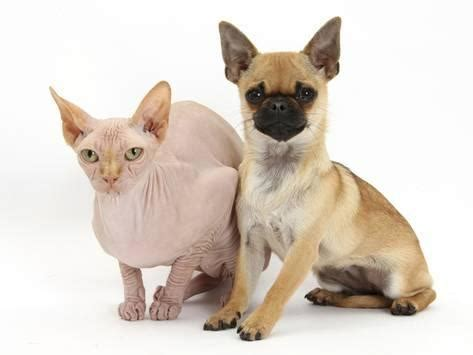 pug and cross chug pug cross chihuahua and sphinx hairless cat photographic print by