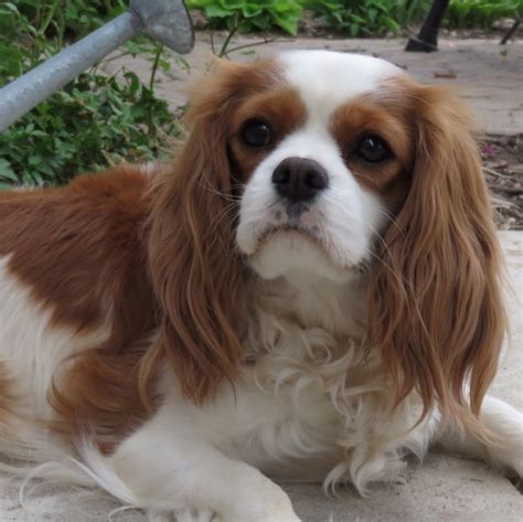 spaniel puppies michigan cavalier king charles spaniel breeder in michigan akc certified