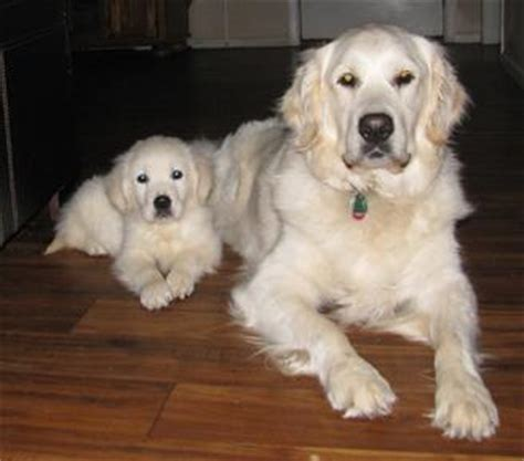 white golden retriever puppies for sale image gallery white retriever