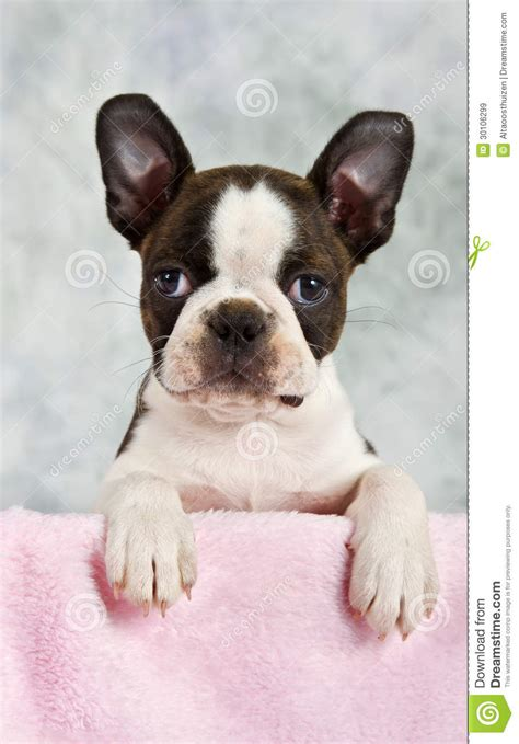 looking for free puppies boston terrier puppy looking out of box royalty free stock images image 30106299