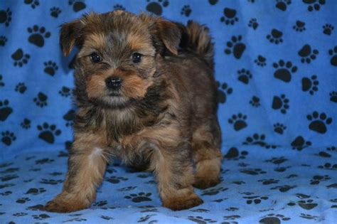 shih tzu mixed with yorkie for sale shih tzu puppies for sale in michigan breeds picture