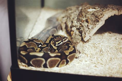 what causes lethargy in pythons pet python