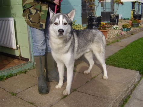 dog house size for husky best house for siberian husky 28 images best house for siberian husky 28 images