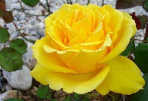 wallpaper bunga mawar kuning tanaman hias warna warni pertanian
