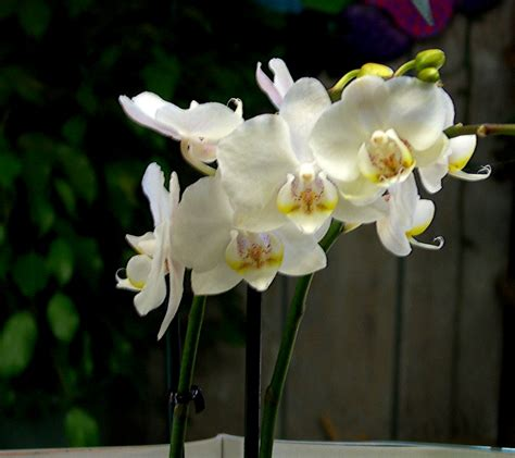 top 28 do orchid plants rebloom the orchid whisperer centsational girl how to get orchids