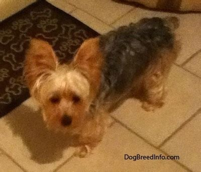 4 month yorkie puppy terrier breed information and pictures yorkie